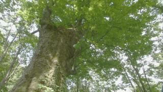 樹齢約400年のトチノキ