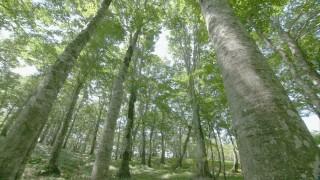 約1万本のブナ林