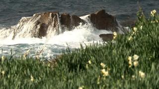 荒波と水仙のコントラストが美しい