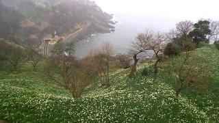 水仙の香り漂う越前海岸