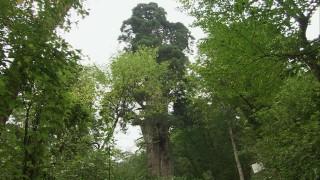 池田の町を見守る稲荷の大杉