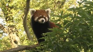 レッサーパンダは西山公園のアイドル