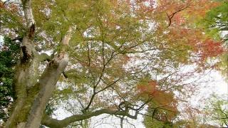 与謝野鉄幹が歌に詠んだ境内のヤマモミジ